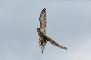 Falconry 6